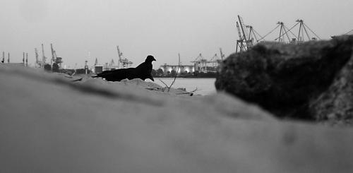 Krähen mit Eiern am Hamburger Hafen