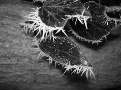 Frost Blätter