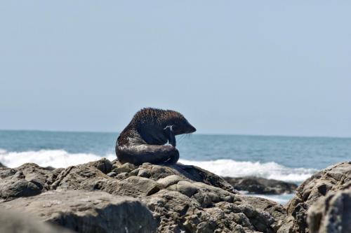 Seehund Denker oder Kratzer