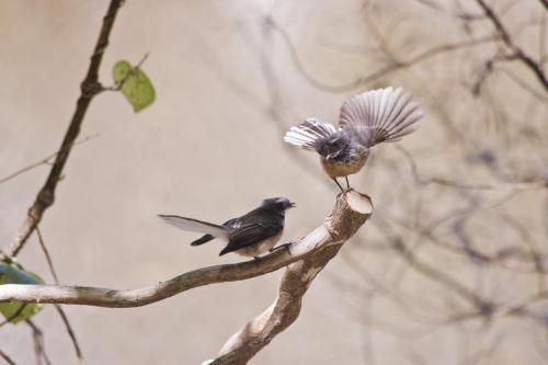 Vogel Neuseeland