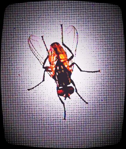 Fliege auf dem Monitor