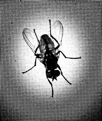 Fliege auf Monitor