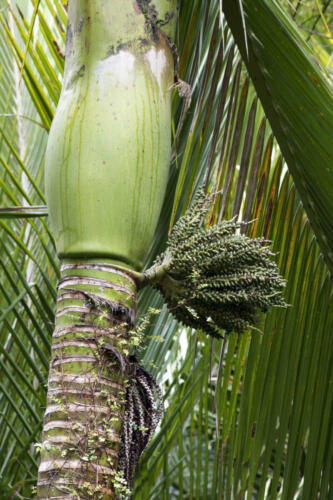Neuseeland-Baum-FRucht-Bluete