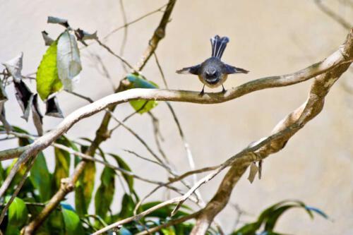 Neuseeland-Faecherschwanz-Fantail