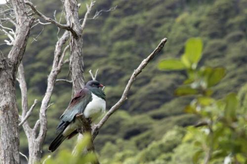 Neuseeland-Maori-Frucht-Taube-Betrunken