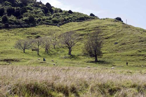 Neuseeland-Mount-Manganui-Wiese-Schafe